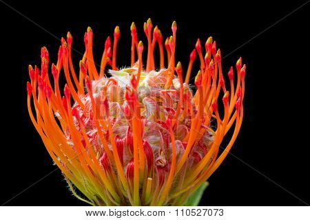 Pincushion protea (Leucospermum) flower