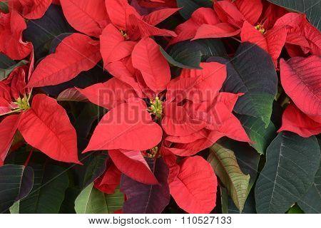 macro of poinsettia plant