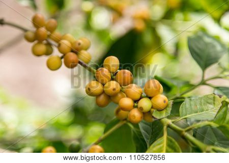 Arabica Yellow Coffee Beans On Tree Branch