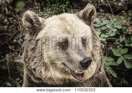 Portrait Of The Bear