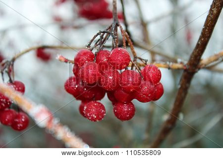 Bunch Of Frozen Red Ash
