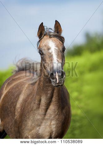 Arabian Horse Portrait In Motion