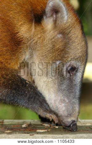 The Koati