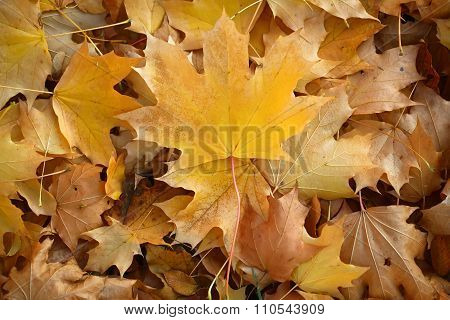 Blanket Of Fallen Maple Leaves