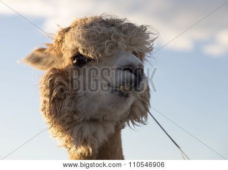 White Alpaca Eating Grass