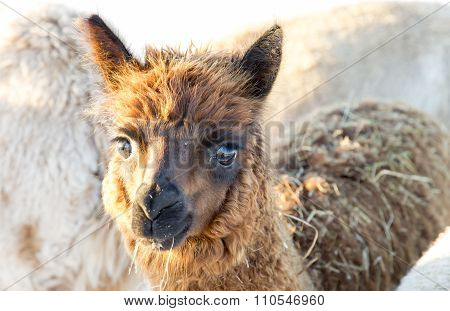 Brown Young Alpaca