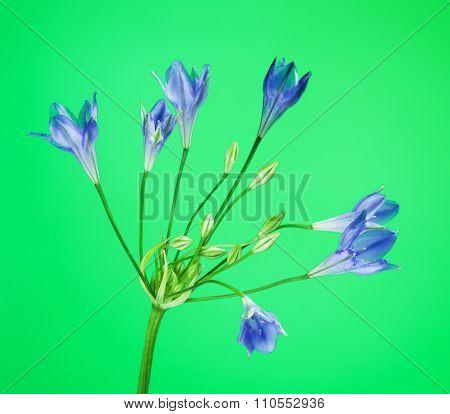 Brodiaea Blue Flower