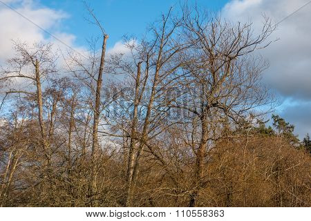 Barren Trees With Blue Sky