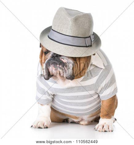 male bulldog wearing fedora sitting on white background