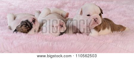 litter of puppies - three week old bulldog puppies on pink background