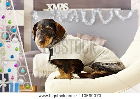 Xmas photo of cute dachshund in dog suitr.