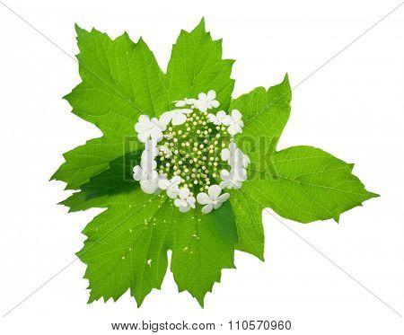 Viburnum (Guelder-rose) flower