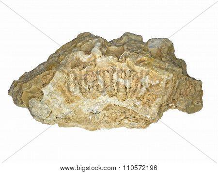 Fossilized hexacorallia in quartz
