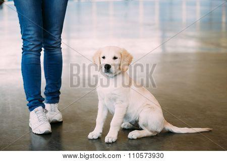 Young White Labrador Dog Puppy