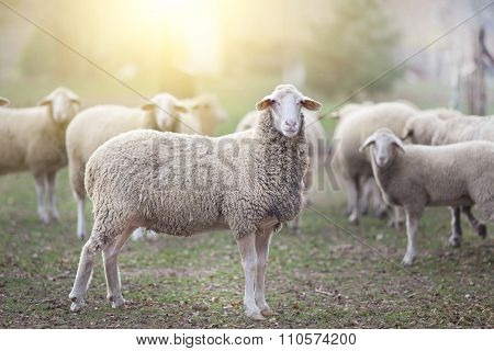 Sheep Flock Standing On Farmland