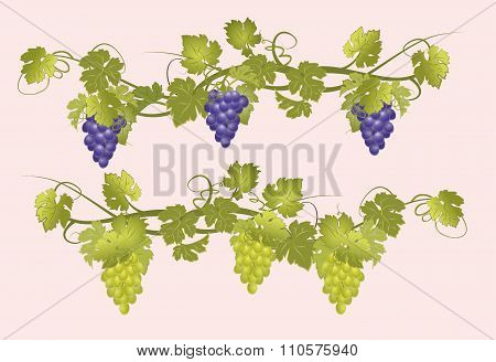 Vines with bunches of grapes in vintage style.