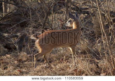 Sharpe's Grysbok In Kruger National Park