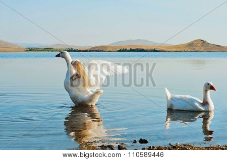 Two Geese On Water