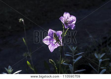 Lilla Garden Campanula