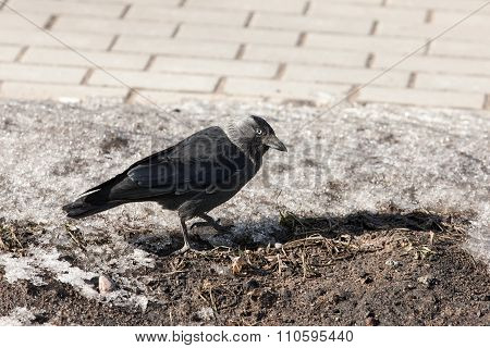 Jackdaw On Melting Snow