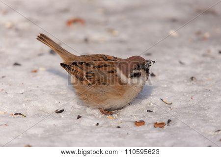 Sparrow Closeup On Snow