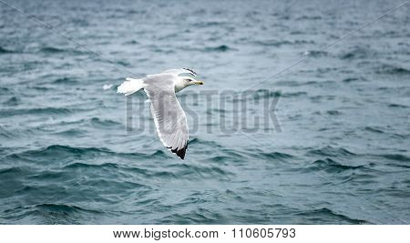 Seagull Is Flying And Soaring In Over The Sea