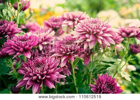 Close up Soft purple Chrysanthemum flowers nature