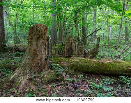 Broken Spruce Tree Trunk Moss Wrapped