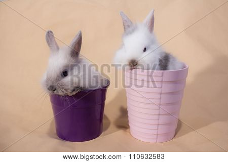 Dwarf Rabbit
