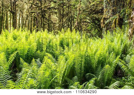 Fern In Boxwood Dense Forest