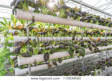 Fresh Organic Vegetable In Hydroponic Vegetable Field.