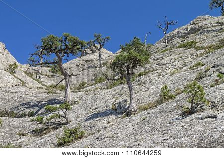 Relic Pine Trees On The Rock