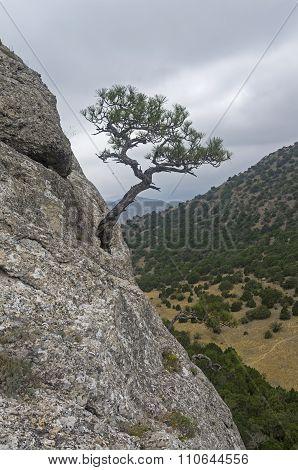 Relic Pine Against The Gray Sky. Crimea.