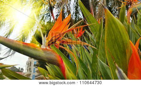 Strelitzia Reginae Flower (bird Of Paradise Flower)