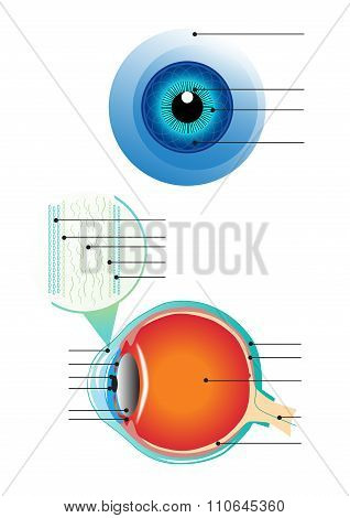eye structure info-graphic