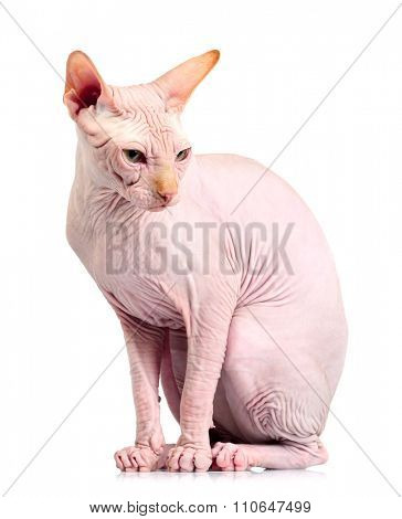 Cat sphynx, isolated on white