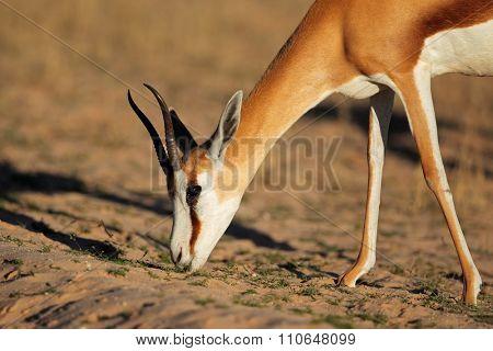 Portrait of a feeding springbok antelope (Antidorcas marsupialis), Kalahari desert, South Africa