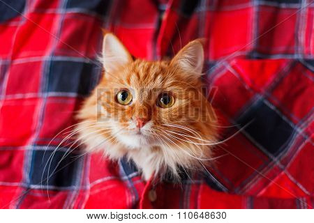 Ginger Cat Put It's Head In A Tartan Shirt. Funny Pet With Curious Emotion On Face.