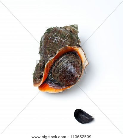 Veined Rapa Whelk And Small Mussel