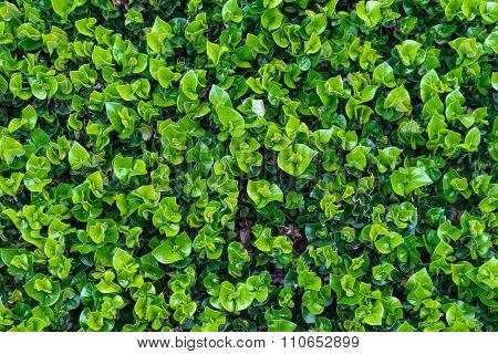 Green Leaf In Natural