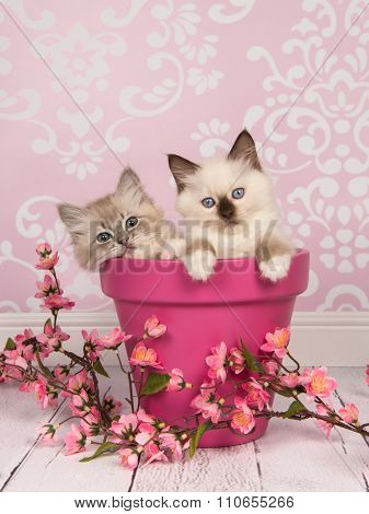 Rag doll baby cats in a pink flowerpot