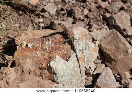 Lizard on the stone