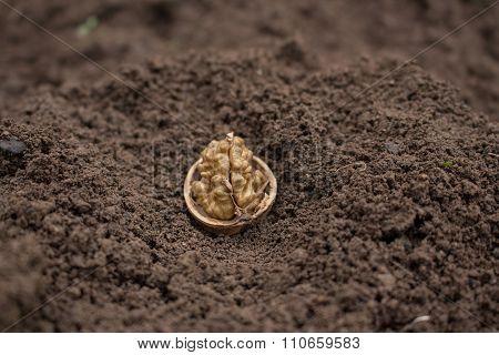 Walnut  on the soil