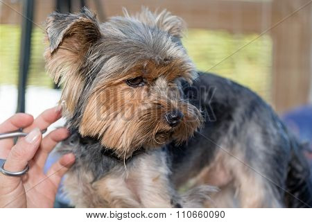 Trimming Of The Yorkshire Terrier