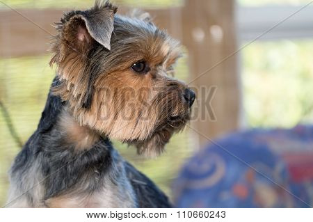 Side View Of The Head Of Yorkshire Terrier
