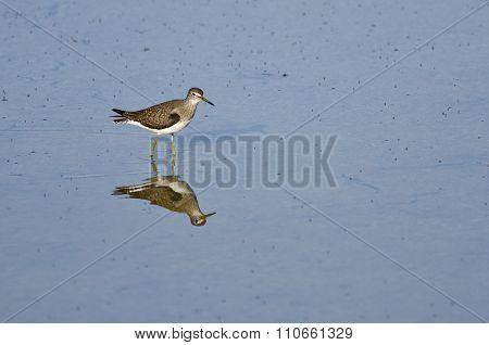 Lesser Yellowlegs Sandpiper Wading In Shallow Blue Water