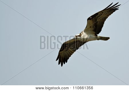 Lone Osprey Hunting On The Wing In A Blue Sky