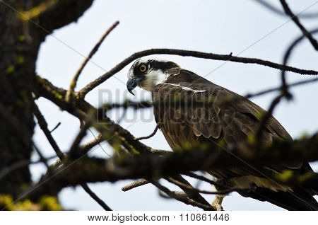 Osprey Perched High In The Tree