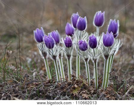 Violet Pasque Flower Blooming On Spring Meadow