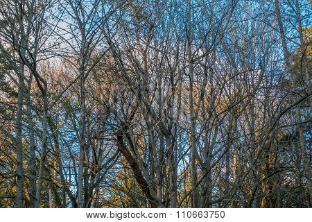 Barren Trees With Blue Sky 2